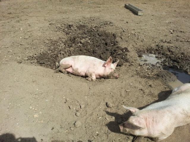 Kingston Lacey pigs 14