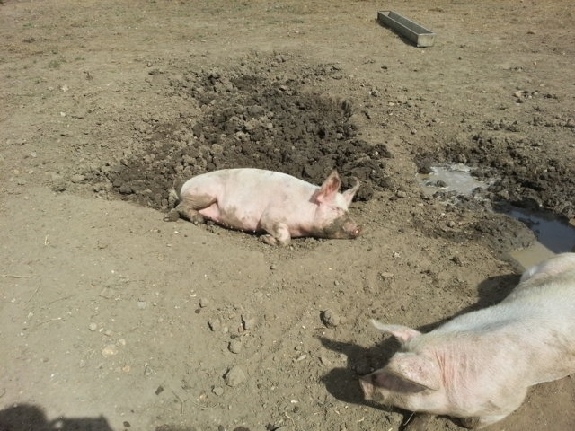 Kingston Lacey pigs 15