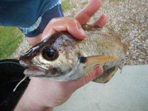 un known fish